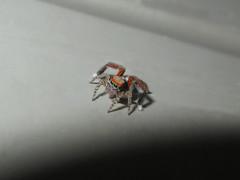 Saitis barbipes (Mle) (Didier Auberget Photographie) Tags: macro spider jumpingspider araigne arachnida arachnide salticidae saitis salticide saltique araignesauteuse aranomorphe saitisbarbipes