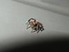 Saitis barbipes (Mâle) (Didier Auberget Photographie) Tags: macro spider jumpingspider araignée arachnida arachnide salticidae saitis salticide saltique araignéesauteuse aranéomorphe saitisbarbipes