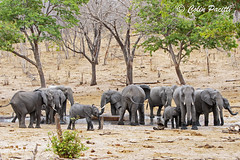 african bush elephant8 (loxodonta africana) (Colin Pacitti) Tags: africanbushelephant loxodontaafricana herdofelephants elephants herd wildanimal animal mammal outdoor choberiver botswana coth fantasticwildlife ngc npc hennysanimals coth5 sunrays5