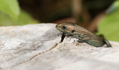 Baby Common Lizard (Lacerta Zootoca vivipara) (Sandra Standbridge.) Tags: commonlizard small tiny baby youngster lacertazootocavivipara outdoor macro wildandfree wood reptile
