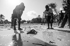 D75_1752 (Andy Kahumbu) Tags: beach kenya watamu hawksbill turtle rescue localoceantrust turtlerelease seaturtle