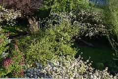 ckuchem-0593 (christine_kuchem) Tags: apfel apfelblte baumblte biogarten blte blten frhling garten gartenteich naturgarten obstbaumblte obstgarten pflanzen privatgarten sumpf teich teichpflanze ufer naturnah natrlich obstbume