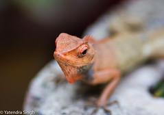 Chameleon (yaten_singh) Tags: chameleon angrychameleon redchameleon