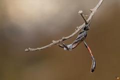 Gasteruption sp. (Rinaldo R) Tags: wasp vespa hymenoptera macro closeup handheld field stack canonmpe canon6d zerene gasteruptionsp gasteruptionidae allaperto animale