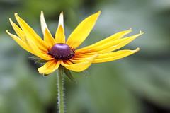 Black Eyed Susan (Johnnie Shene Photography(Thanks, 1Million+ Views)) Tags: blackeyedsusan rudbeckia flower flora floral wild wildlife livingorganism tranquility depthoffield nature natural petal petals corolla yellow beautiful wonder awe lighteffect adjustment fulllength flowerhead photography horizontal outdoor colourimage fragility freshness nopeople modified spring day frontview highangle foregroundfocus sharpness luminosity bright canon eos600d rebelt3i kissx5 sigma 1770mm f284 dc macro lens    daisy chrysanthemum
