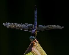 DragonFly_SAF0883-3 (sara97) Tags: copyright2016saraannefinke dragonfly flyinginsect insect missouri mosquitohawk nature odonata outdoors photobysaraannefinke predator saintlouis towergrovepark