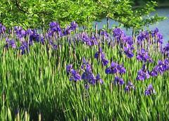 Field of Love (Cher12861) Tags: chicagobotanicgarden glencoeillinois field lake tree flowers iris deepviolet blue plantidentificationneeded isthisakharput sunlit landscape