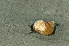 2016-07-27 - Long Sands Beach - York  (5) (Paul-W) Tags: longsandsbeach york maine beach sand waves sun ocean surf sky 2016 snail shell