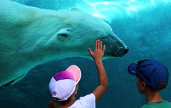 Ours des glaces, White Bear (francepar95) Tags: ourspolaires oursblancs enfants tendresse clins zoo stflicien lacstjean qubec canada eau glaces chaleur visite