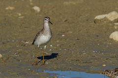 Chevalier sylvain (Tifaeris) Tags: charadriiformes chevaliersylvain scolopacids tringaglareola woodsandpiper bird oiseau