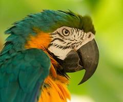 Brazil. (richard.mcmanus.) Tags: rainforest mcmanus parrot macaw animal bird brazil
