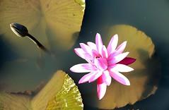 DP1U4113 (c0466art) Tags: 2016 summer season lotus field  wate rlilies cloom colorful flowers scenery landscape canon 1dx c0466art