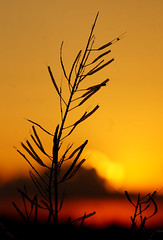 Missed One (pmryderesq) Tags: sunset nature silhouette landscape bokeh rapeseed naturephotography landscapephotography