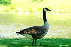 Canada Goose (--Anne--) Tags: bird birds birdphotography goose geese canadiangeese canadiangoose canadagoose canadageese lake park summer sunshine