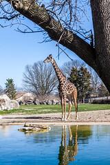 Zoo Louisville-5855 (TeamHuerta) Tags: louisvillezoo 2016 ky zoo giraffe spring