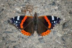 (Grneseis) Tags: nikon schmetterling bea makro macro butterfly insect insekten tamron pflanze blte outdoor landschaft feld schrfentiefe