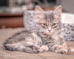 Tiana. Newest Family Member (Chris Liszak Photography) Tags: cat chrisliszakphotography nikond7100 cats color colour kitten kittens pet pets photo sharp stunning wow