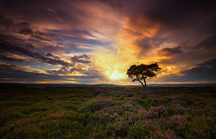 Saturday's sunset on the North Yorkshire Moors (Dave Holder) Tags: northyorkshiremoors northyorkshire yorkshire sunset lonetree tree clouds sun landscape heather flowers sky canon leefilters