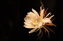 Night Blooming Cereus (James Duckworth) Tags: flowers jamesduckworthphotography blooming cereus color flower nightbloomingcereus petals
