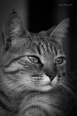 my beautiful cat... (Pistolozzi Marco) Tags: canoneos700d tamorn70300isusd gattino amicianimali animali animalidomestici bw felini occhi biancoenero