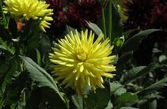 dahlia (germancute) Tags: nature outdoor wildflower flower blume park beet wiese garden garten