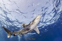 Oceanic White Tip Shark (HANI BADER) Tags: shark marsaalam underwater nikond7000