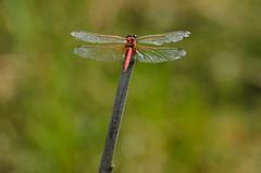X deteriorada (Santi BF) Tags: sympetrumfonscolombii sympetrum liblula libllula dragonfly insecto insect odonato odonata anisptero