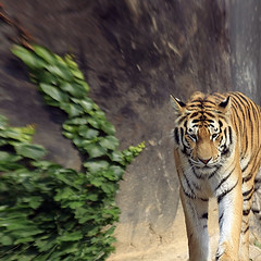 Siberian Tiger by Perspective View (Johnnie Shene Photography(Thanks, 1Million+ Views)) Tags: siberiantiger tiger panthera pantheratigris tigris bigcat predator vertical mammal nature natural wild wildlife walking standing nopeople foregroundfocus adjustment fulllength interesting awe wonder perspective accessibility behaviour photography outdoor colourimage fragility freshness magnified telephoto frontview distorted ground day summer lighteffect longdistance canon eos600d rebelt3i kissx5 sigma apo 70300mm f456 dg macro zoom lens