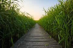 Walk in the reeds (NicVW) Tags: beauty calm cane clear color colorful dream evening foliage gold grass grating green growth lake landscape leaf natural nature nobody orange outdoors path peaceful plants reeds scene sky stem summer sun sunlight sunny sunset vibrant vivid walking wooden yellow zouteleeuw