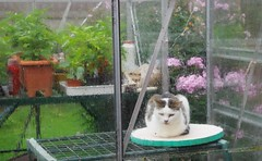 rainy day   241/366 (horsesqueezing) Tags: 366the2016edition 3662016 day241366 28aug16 cat ophelia greenhouse rain