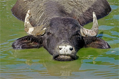 RELAX (lady_sunshine_photos) Tags: waterbuffalo wasserbüffel südsteiermark southstyria relax water animal tier büffel buffalo fell haare hairs fur ladysunshine ladysunshinephotos styria steiermark sommer summer heat hitze abkühlung cooling austria at österreich europe europa leica leicavluxtyp114 wonderfulworld supershot farbwolke theworldisbeautiful sundaylights