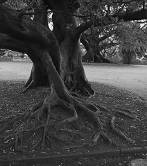 Moreton Bay Fig (phillipdumoulin) Tags: blackandwhite tree nature gardens botanical sydney roots australia treetrunk trunk sydneybotanicalgardens moretonbayfigs buttressroots