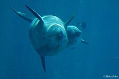 Blue and Taras (Haku_Orka) Tags: blue italy baby love italia dolphin lagoon laguna riccione cucciolo taras delfino bottlenose oltremare tursiope