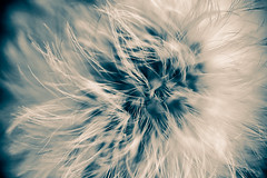 Mystical Dandelion (ssadoss) Tags: sony dandelion 60mm alpha tamron f28 mniszeklekarski macrodreams slta58
