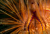 Blue-spotted sea urchin on the sea floor (Arno Enzerink) Tags: ocean life sea water marine colorful underwater dive scuba diving sealife colourful aquatic urchin shining radiating seaurchin marinelife pulsating echinoidea longspinedseaurchin astropygaradiata roterdiademseeigel bluespottedseaurchin