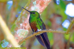 near endemic, coppery-bellied puffleg, Eriocnemis cupreoventris, Parque Natural Chingaza, Birding tour around Bogota (OSWALDO CORTES -Bogota Birding and Birdwatching Co) Tags: nearendemic parquenaturalchingaza oswaldocortes eriocnemiscupreoventris bogotabirding copperybelliedpuffleg birdingtouraroundbogota