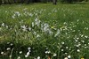 Ornithogalum nutans, Nickender Milchstern (julia_HalleFotoFan) Tags: ornithogalum asparagaceae ornithogalumnutans nickendermilchstern milchsterne spargelgewächs ornithogaleae
