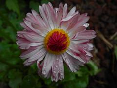 Daisy in pink (LadyLynx92) Tags: pink white flower rain spring rosa dew daisy fiore rugiada pioggia bianco margherita