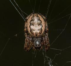 Furrow Orb Weaver Spider - Larinioides cornutus (Luckybon) Tags: spider arachnid patapsco henryton larinioidescornutus furroworbweaverspider