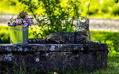 Enjoying summer - Wanda (Joni Mansikka) Tags: flowers summer pet green nature june cat blossom outdoor bluesky appletree