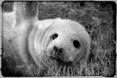 Seal black and white (Laura2309) Tags: old blackandwhite animal manipulated vintage mammal edited seal sealpup