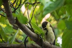 2015 Japanese Tit (baby bird) #3 (Yorkey&Rin) Tags: japan may olympus babybird kanagawa  rin kawasaki  inmygarden 2015 em5 japanesetit juneberry    olympusm75300mmf4867ii  pc236096