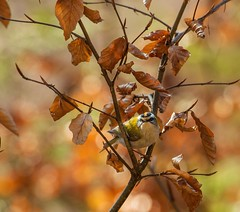 Brandkronad kungsfågel / Common firecrest (Jan Westerlund) Tags: bird nature birds animal sweden bokeh outdoor natur sverige songbird fåglar fågel passerine firecrest commonfirecrest brandkronad