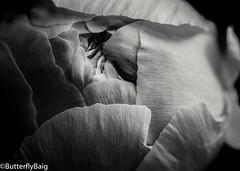 Peony      #Peony #BringMePeonies #PeonyLove #Paeonia #Flower #FlowersOfInstagram #InstaFlower #Potd #FlowerVeins #Petals #Details #Delicate #Pattern #PatternLife #Nature #Natural #NaturalBeauty #LightAndDark #Shadows #Love  #BlackAndWhitePhotograph (Sarwat Baig) Tags: flower love nature mono petals pattern shadows natural details peony potd delicate naturalbeauty minimalist lightanddark blackandwhitephotography paeonia minimalistphotography flowerveins patternlife peonylove instaflower flowersofinstagram gramoftheday bringmepeonies