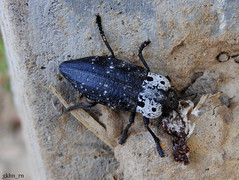Capnodis tenebrionis - Dip kurdu (gkhan eren) Tags: bug beetle bugs animalia bcek insecta buprestidae capnodis capnodistenebrionis dipkurdu