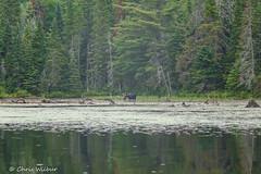Moose on Joe Lake (awaketoadream) Tags: park travel wild summer lake ontario canada male water animal outdoors wildlife central joe moose canoe algonquin wilderness portage provincial