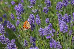 IMG_4927 (ElsSchepers) Tags: limburglavendel lavendelhoeve stokrooie kuringen hasselt natuur vlinders