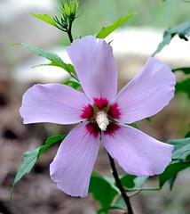 DSC_3725e ~ Chinese Hibiscus (BDC Photography) Tags: pipecreek texas usa nikond3 nikondlsrcamera nikon flowers nikonafnikkor180mmf28difedlens bwfpro72mmuvhaze1xfilter