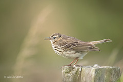 Meadow Pipit - My first D50_2879.jpg (Mobile Lynn) Tags: meadowpipit birds nature wild anthuspratensis bird fauna wildlife holyisland england unitedkingdom gb coth specanimal ngc sunrays5 npc coth5