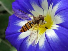 Enjoying Blue. Convolvulus tricolor, Dwarf Morning Glory, and Marmalade Hoverfly, Episyrphus balteatus, Hortus Botanicus, Amsterdam, The Netherlands (Rana Pipiens) Tags: insect episyrphusbalteatus marmaladehoverfly orange blue white princesflower convolvulushispanicus convolvulustricolor abrahammunting hortusbotanicusamsterdamthenetherlands thrips houseoforange throneofspain nassaublue livery